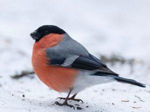Auf dem derzeit leicht angeschneiten Boden wirkt die Färbung dieses hübschen Gimpels gleich noch kräftiger. Ein wahrer...
