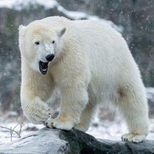 Eisbären-Mädchen Finja 🤍 liebt es, im Schnee herumzutollen. 😍 Eis ist rutschig – ...