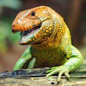 Wow, was für eine Farbpracht! ✨💚 Unsere Krokodil-Tejus findet ihr im Aquarien-Terrarienhaus. 🧐 ...