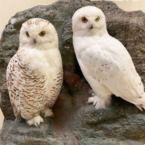 """Wir haben """"Hedwig"""" im @nhmwien gesehen und ich musste augenblicklich daran denken, dass ..."""