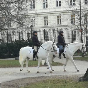 Lipizzaner on morning walk you Canaria only find something like that in Vienna ...