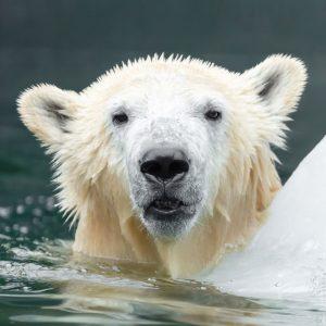 Heute ist Welteisbärentag! 🐻❄️ Damit soll auf die Bedrohung der weißen Bären durch ...