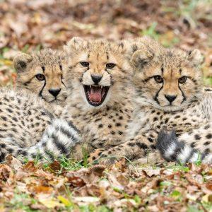 Die acht Monate alten Geparden-Vierlinge 😺 Malkia, Sibaya, Tuli und Paka sind schon ...