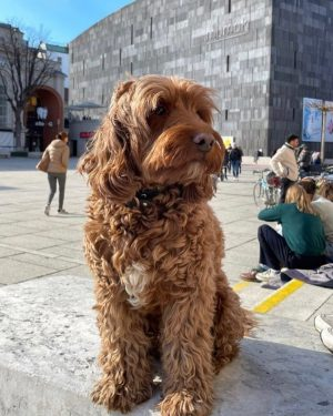 Met a cute girl on Saturday, she took this photo of me #cockapoo #dogsofvienna #dogmodel MQ –...
