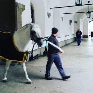 The Austrian stallions 😁 #spanishridingschool #spanischehofreitschule #lippizaner #horse #vienna Spanische Hofreitschule