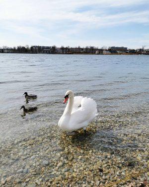 Swan 🦢 #swan #altedonau #vienna #viennanow #nature #naturephotography #naturelife #naturelove #naturelovers #cityofvienna #austria ...