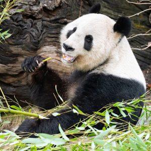 Heute feiern wir unsere schwarz-weißen Bären 🐼 – denn heute ist #worldpandaday! 💕 Genüsslich gehen unsere beiden...