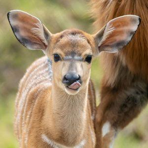 Unsere Nyala-Weibchen Nathalie und Odetha 💗 haben vor etwa drei Wochen jeweils ein ...