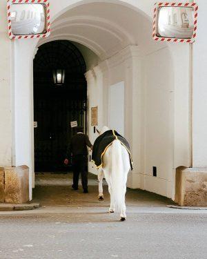 #pferd #hintern #lipizzaner #1010 #wien