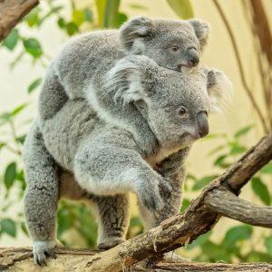 So süß! ❤️ Millaa Millaa wurde am 21. April letzten Jahres geboren und ist der erste Koala-Nachwuchs...