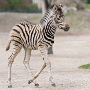 Zuckersüßer, gestreifter Nachwuchs! 🦓 Am 10. April ist ein Zebra zur Welt gekommen. ✨ Unsere Pfleger haben...