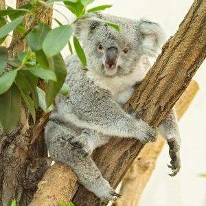 Happy Birthday, Bunji! 🥳 Unser Koala-Weibchen wird heute 4 Jahre alt. 🐨 Bunji wurde 2017 im Zoo...