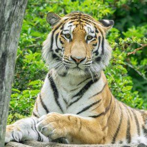 Auf großen Tatzen 🐾 streift unser neuester Bewohner durch sein Revier: Am Montag ist Tiger-Männchen Pepe eingezogen....