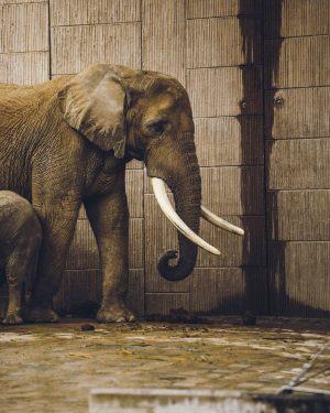 Elephant * * * * 📸@julio.francesco_animals * * * * #zoo #animal #hobbyfotografie #tierfoto #tiergartenschöbrunn #tiergarten #animals...