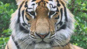 Neuer Tiger im Tiergarten Schönbrunn