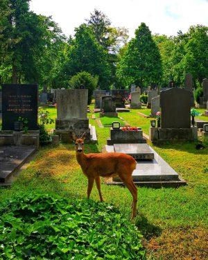ᗯIEᑎ, ᗯIEᑎ ᑎᑌᖇ ᗪᑌ ᗩᒪᒪEIᑎ ᔕOᒪᒪᔕT ᗪIE ᔕTᗩᗪT ᗰEIᑎEᖇ TᖇäᑌᗰE ᔕEIᑎ... 🎶 . #vienna #simmering #zentralfriedhofwien #deer...