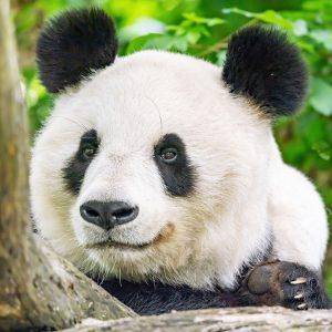 Wir starten mit Panda-Facts in die neue Woche 🐼: Damit der Große Panda seine Nahrung besser halten...