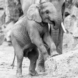 Wir können es gar nicht fassen: Gestern Nachmittag ist unser Elefanten-Mädchen Kibali plötzlich verstorben. 😥 Am Vortag...
