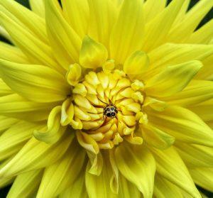 A yellow ladybug in a yellow Dahlia . . . . . . . . #flowerstagram #flowersofinstagram...