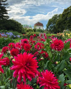 Late summer Dahlias of the botanical garden looking towards the Belvedere Palacs . . . . ....
