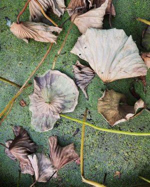 Lotus decay at the Botanical Garden . . . . . . . . . . #igersvienna...