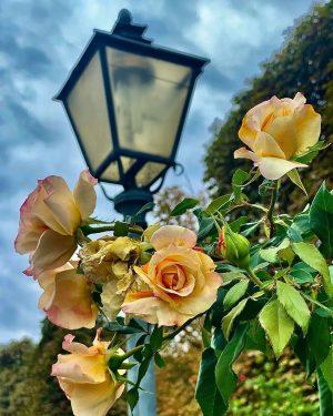 … looks like summer ☀️#volksgarten #volksgartenwien #wieninnerestadt #viennacity #yellowroses #roses #rosenpark #rosengarten #bundesgärtenwien #stadtwien #laternen #laterneninwien #viennagram...